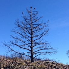 Burnt pine tree with pinecones at the top