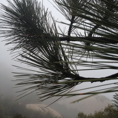 Pine needles collecting water from the fog