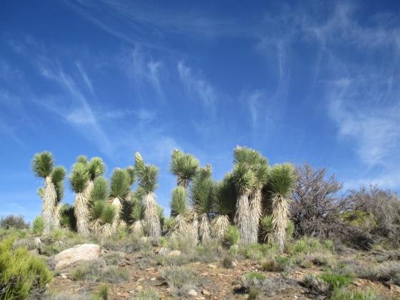 Joshua trees!