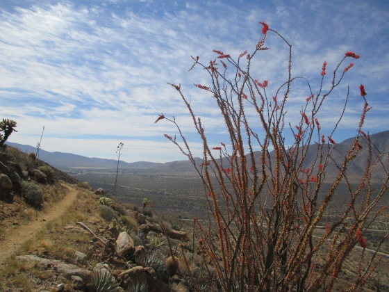 Beautiful ocotillo